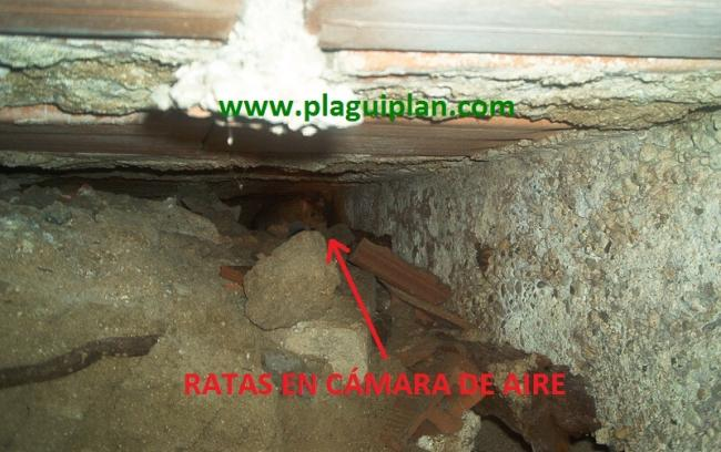 Plaguiplan desratizaci n control de ratas y ratones - Como eliminar ratas en casa ...