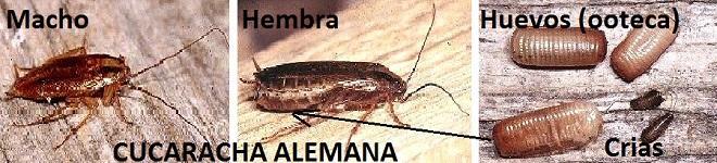 Plaguiplan problemas de cucarachas alemanas en casa - Como eliminar los mosquitos de mi casa ...