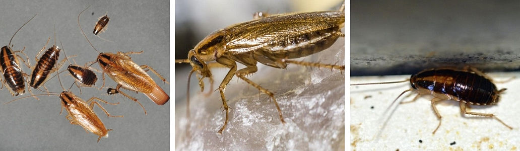Eliminate a German cockroach problem in the home kitchen