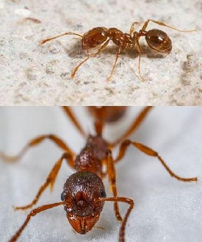 Eliminar un problema de hormigas en casa