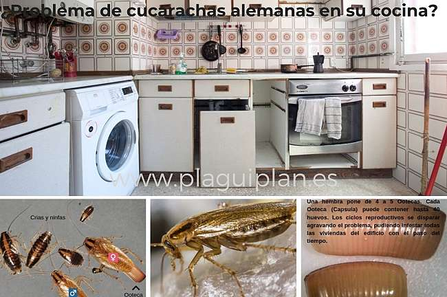 Problemas-Comunes-Causados-Cucarachas-Alemanas- Blatella-Germánica_opt