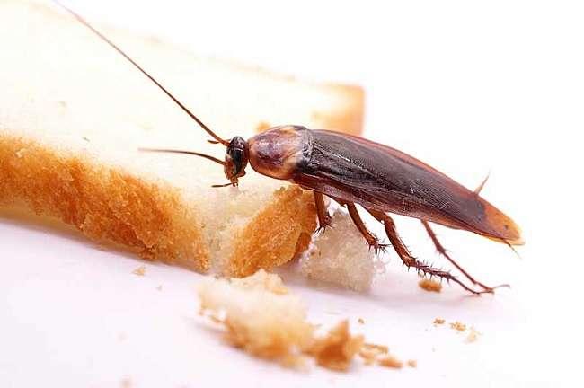 Las cucarachas alemanas contaminan los alimentos