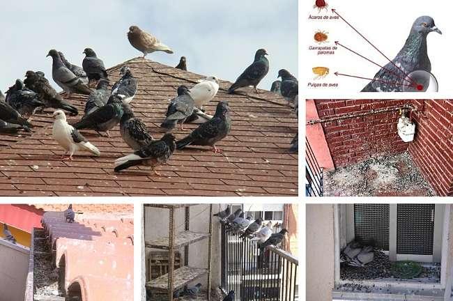 Riesgos vinculados con la presencia de palomas