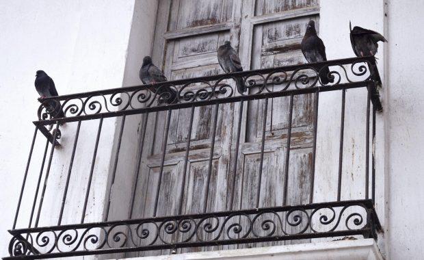 Plaga de palomas en edificios de Madrid