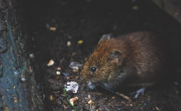 Problema de roedores en Madrid