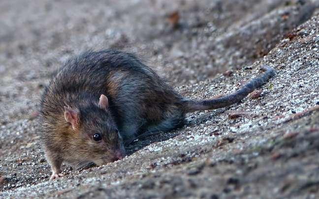 Cómo-matar-ratas-y-exterminar-una-plaga-de-roedores
