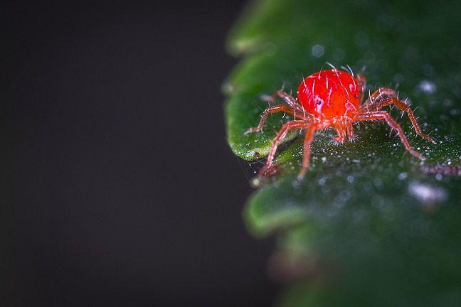 qué-es-un-ácaro-araña-rojo