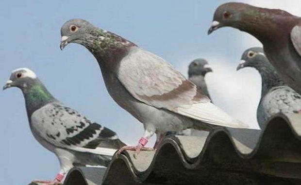 tengo-un-problema-de-palomas