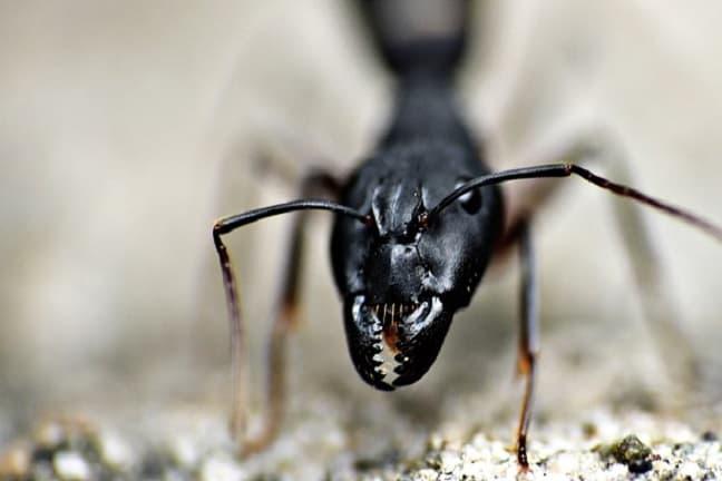 Control-plagas-hormigas-Madrid