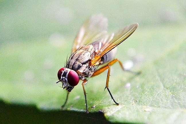 Deshacerse-rápidamente-moscas-de-la-fruta
