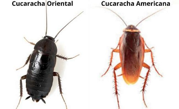 Diferencia-entre-cucaracha-oriental- y-cucaracha-americana