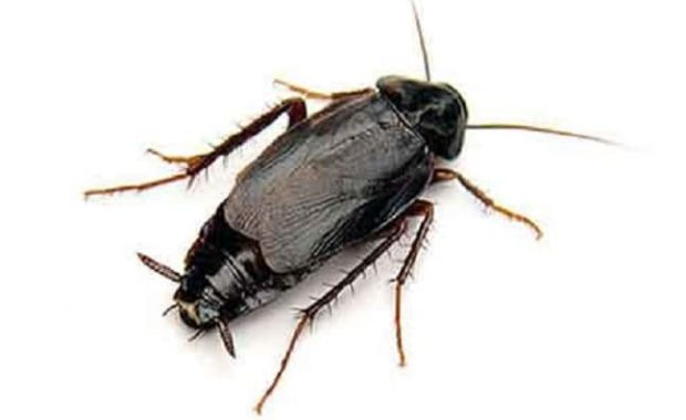 Qué-son-las-cucarachas-orientales