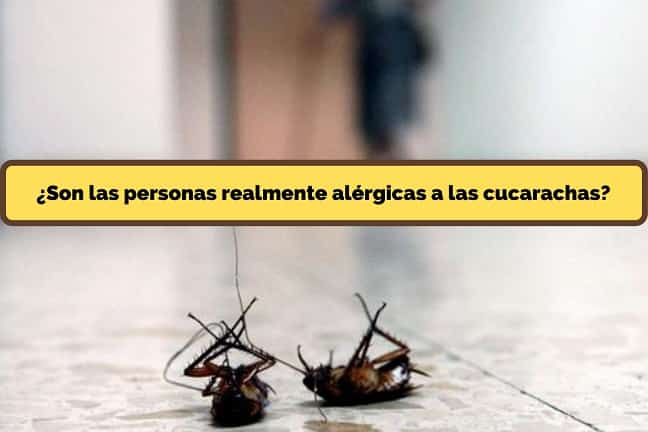 Son las personas realmente alérgicas a las cucarachas