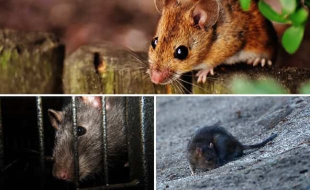 tipos-roedores-invaden-comunidades-hogares