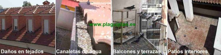Con sus excrementos las palomas causan daños en los edificios